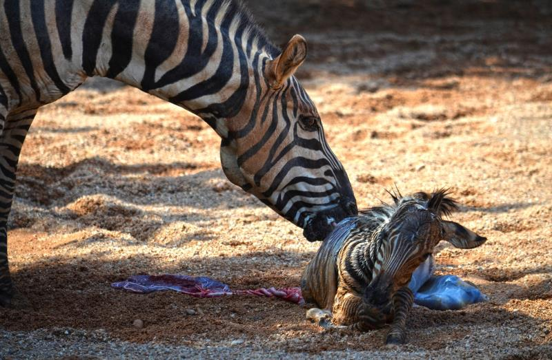 bioparc zebra