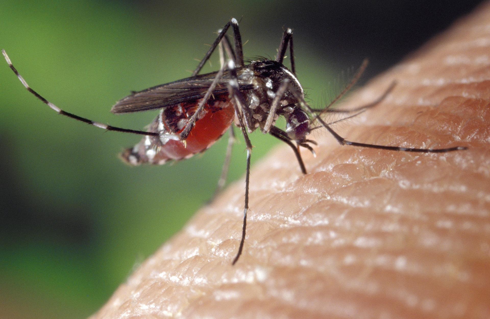 Mosquito común