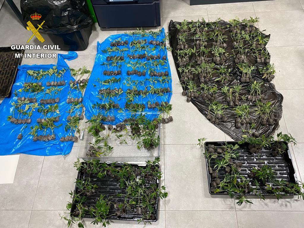 Plantas de marihuana encontradas por los agentes