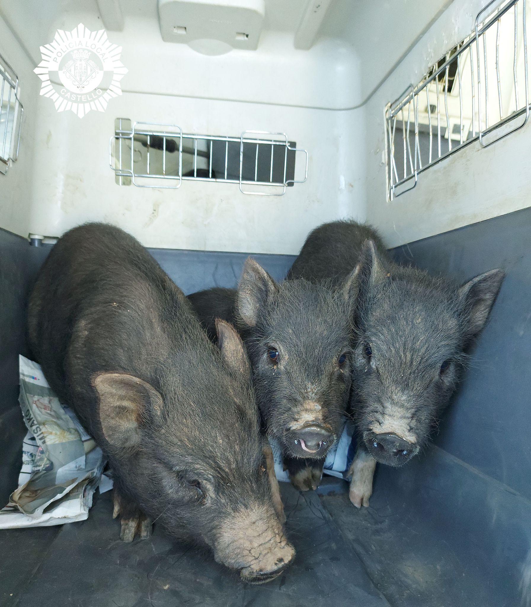 cerdos vietnamitas recuperado