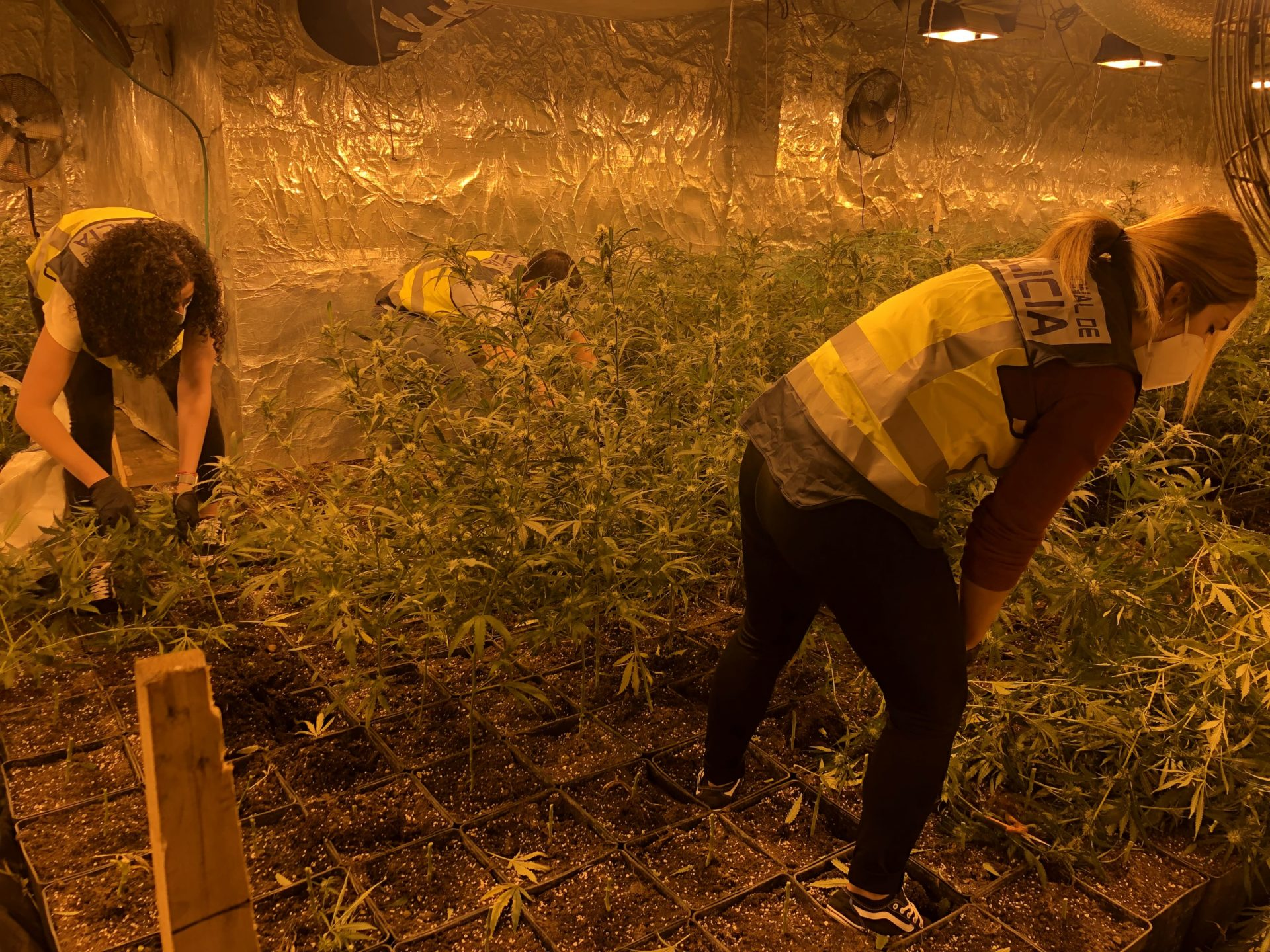 2.100 plantas marihuana